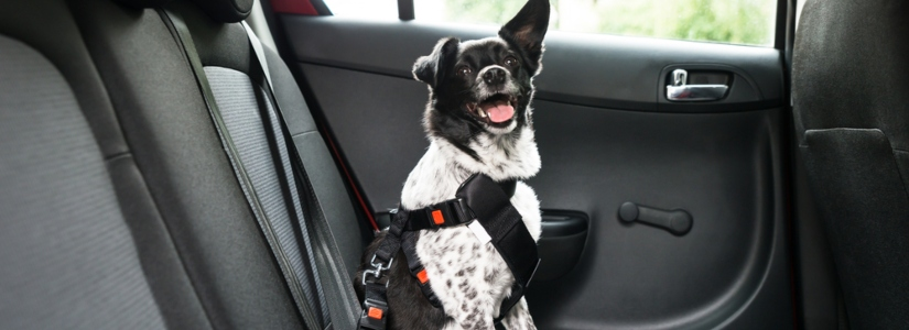Dog inside car