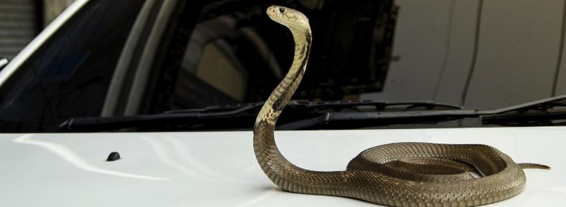 Snake-on-a-car